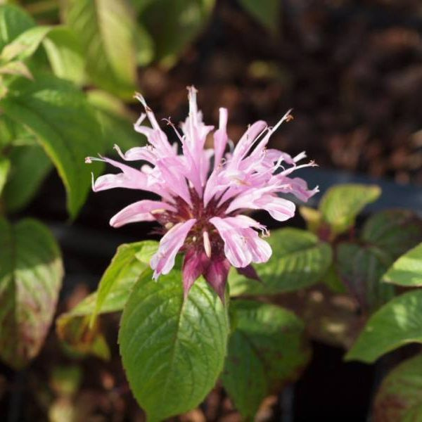Monarda ´Beauty of Cobham´