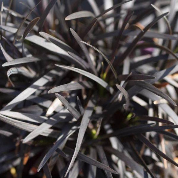 Ophiopogon planiscapus ´Niger´