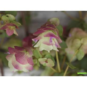 Origanum rotundifolium ´Kent Beauty´