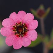 Potentilla nepalensis 'Miss Willmott'