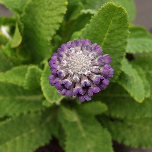 Primula capitata subsp. mooreana