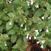 Pulmonaria officinalis 'Sissinghurst White'