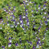 Salvia 'Madeline'