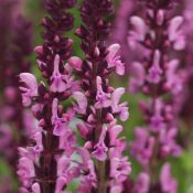Salvia nemorosa 'Sensation Rose'
