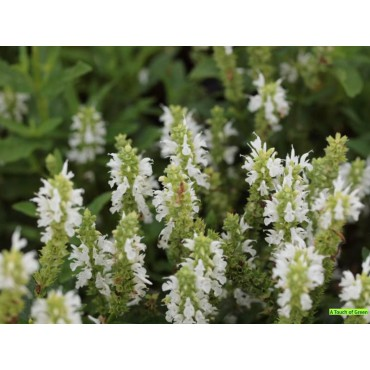 Salvia nemorosa 'Schneehügel'