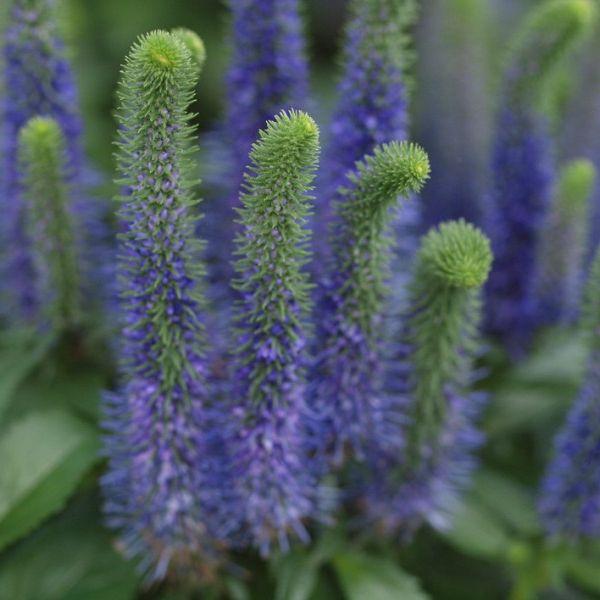 Veronica spicata 'Ulster Dwarf Blue'