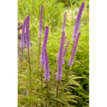 Veronicastrum virginicum 'Red Arrow'