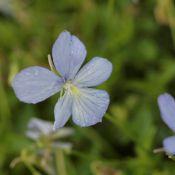 Viola cornuta 'Boughton Blue'
