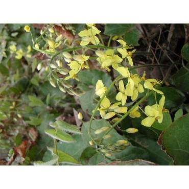 Epimedium perralchicum 'Frohnleiten'