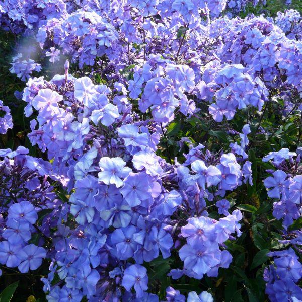 Phlox (P) 'Blue Paradise'
