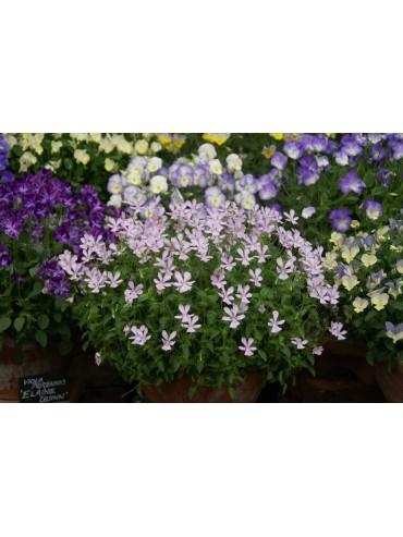 Viola cornuta 'Blush'