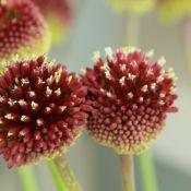 Allium amethystinum 'Red Mohican'