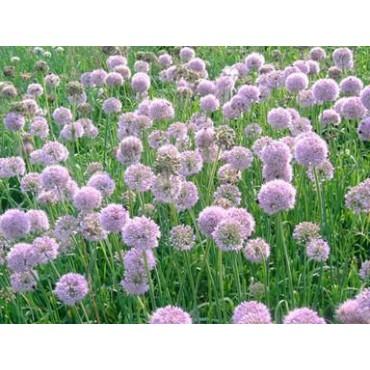 Allium nutans 'Caroline'