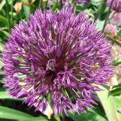 Allium 'Powder Puff'