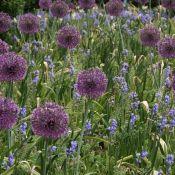 Allium rosenbachianum 'Early Emperor'
