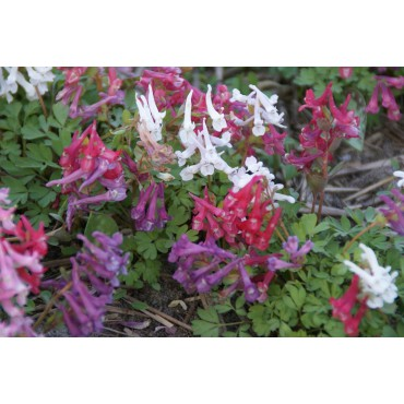 Corydalis solida subsp. solida -mix-