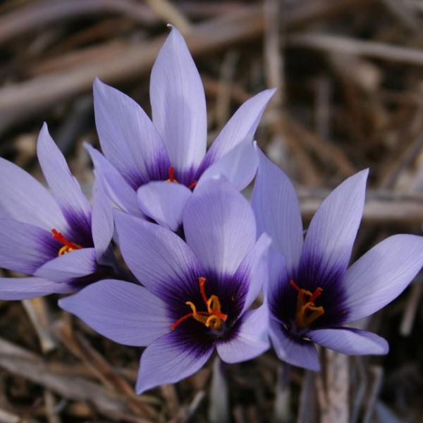 Crocus mathewii 'Dream Dancer'