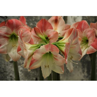 Hippeastrum 'Apple Blossom'