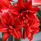 Hippeastrum 'Double Delicious'