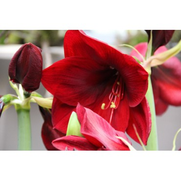 Hippeastrum 'Red Lion'