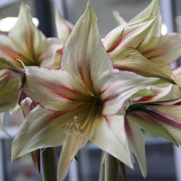 Hippeastrum 'Magic Green'