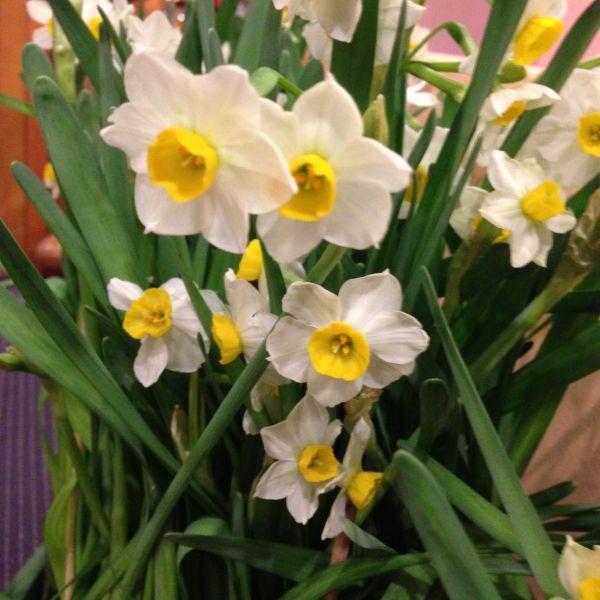 Narcissus tazetta 'Chinese Sacred Lily'