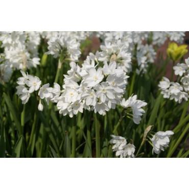 Narcissus tazetta 'Paperwhite Ziva'