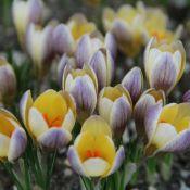 Crocus chrysanthus 'Advance'