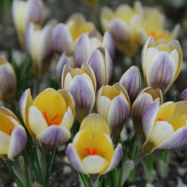 Crocus chrysanthus 'Advance'