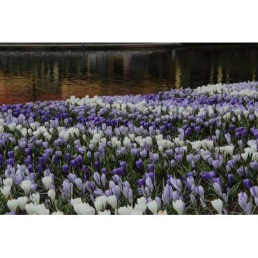 Crocus vernus -mengsel in de tinten blauw en wit-