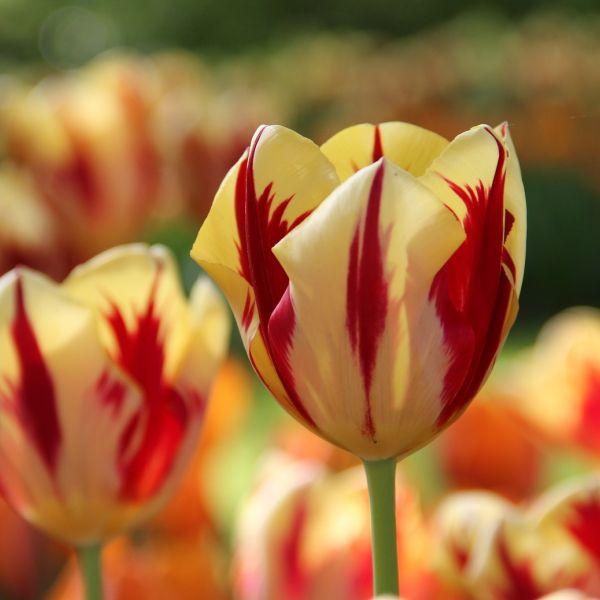 Tulipa 'Grand Perfection'