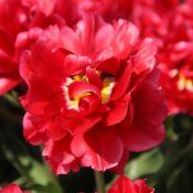 Tulipa 'Caravaggio'