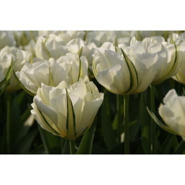 Tulipa 'Exotic Emperor'