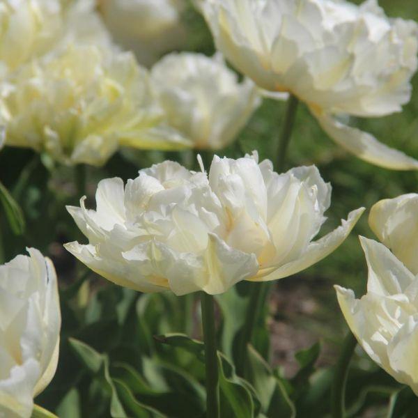 Tulipa 'Gerard Dou'