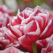 Tulipa 'Gerbrandt Kieft'