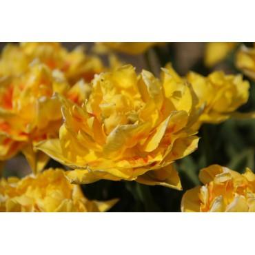 Tulipa 'Jan Steen'
