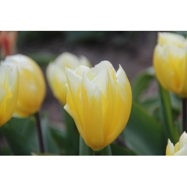 Tulipa 'Sweetheart'