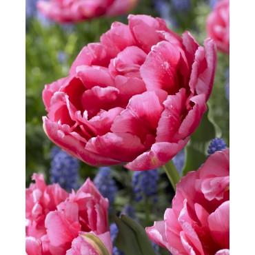 Tulipa 'Vincent'
