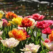 Tulipa -Premium Murillo Mix-