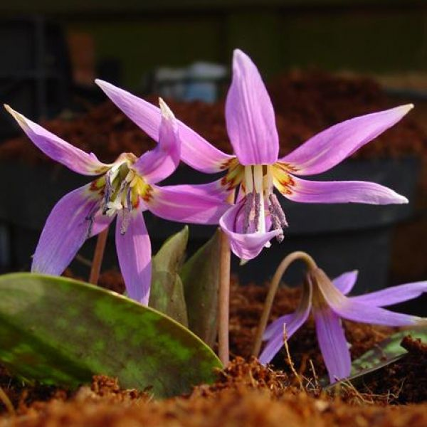 Erythronium dens-canis 'Frans Hals'