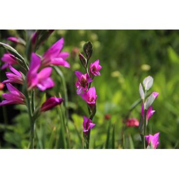 Gladiolus communis subsp. byzantinus