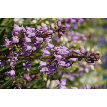 Hyacinthoides hispanica 'Miss World'