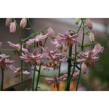 Lilium 'Pink Morning'