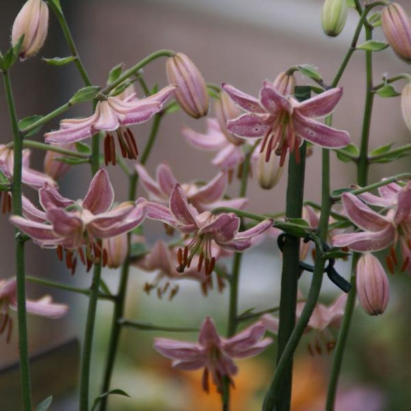 Lilium 'Pink Morning'
