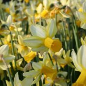 Narcissus 'Mother Duck'