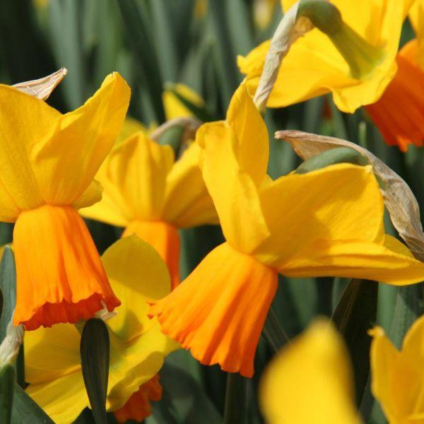 Narcissus 'Velocity'