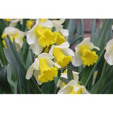 Narcissus 'Glory of Sassenheim'