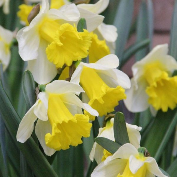 Narcissus 'Glory of Sassenheim'