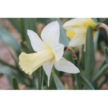 Narcissus 'Beersheba'