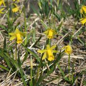 Narcissus 'The Little Gentleman'
